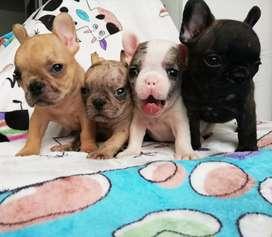 Bulldog francés exóticos