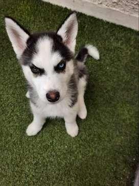 Vendo Hermoso cachorro 3 meses con sus vacunas y