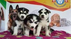Excelentes Husky Siberianos Genetica Alta