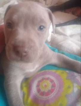 Cachorros Pitbill American terrier