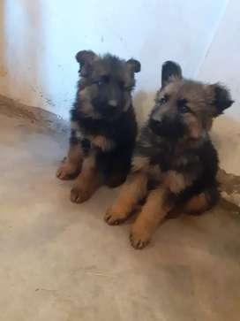 Cachorros pastor aleman machos  _S/600