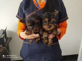 Yorkshire terrier disponibles