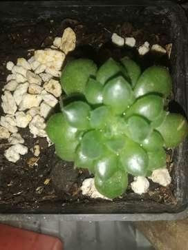Plantas suculentas, cactus, entre otras
