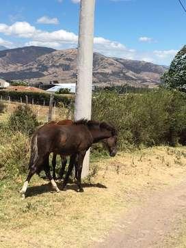 Vendo potra cruza con Español de 6 Meses