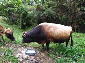 Vendo Hato lechero Jersey - Vacas - Toro - Novillas