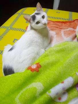 Se da en adopción hermosa Gatica de 9 meses por motivo de viaje