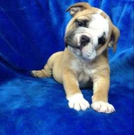 bulldog ingles 60 dias mascotas de amor