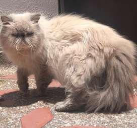 Hermoso gato himalayo disponible para montas