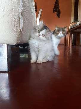 Gato persa dollface