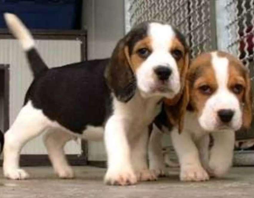 Beagle tricolor 0