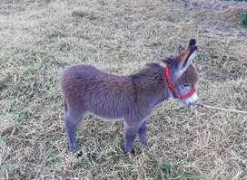 Hermoso burro pony