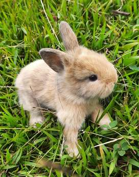 Conejos cabeza León (peluche)