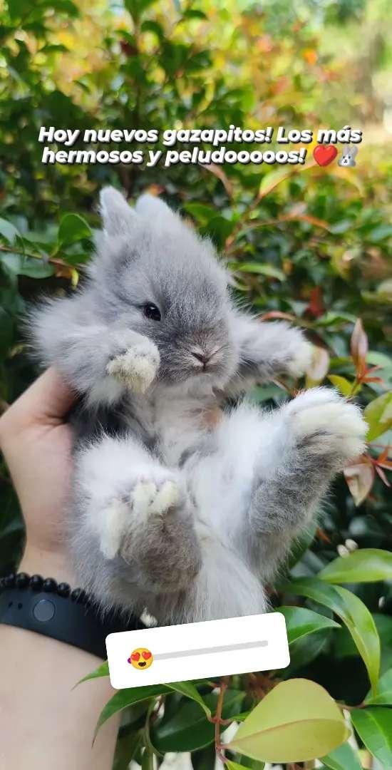 Conejos Mini Toy Cabeza de leon, antialérgicos, Angora, Belier