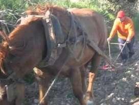 Vendo caballo adiestrado para arar