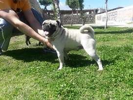 Servicio de Monta Pug Carlino Arequipa