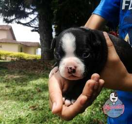 Espectaculares Boston Terrier Disponibles
