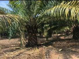 Venta de Hacienda de Palma Africana en Pijullo Los Rios