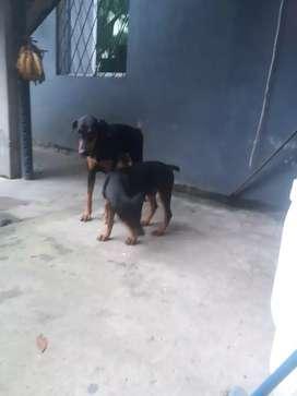 Se vende perritos Dóberman 5 meses