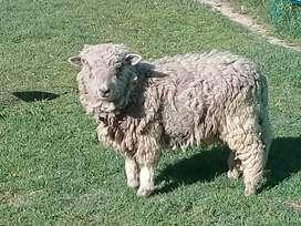 Vendo oveja
