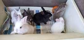 Conejos domestico