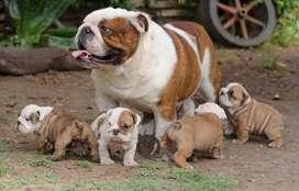 Bulldog Ingles gran campeón argentino en Servicio de stud