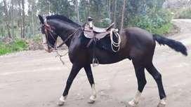 Lindo caballo negro