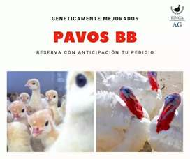 Pavos bb genética americana