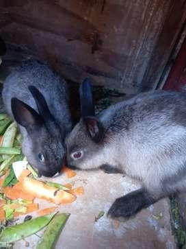 Conejos raza castilla