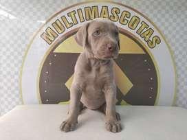 Bracos weimaraner en venta cachorros de raza grande