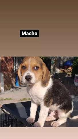 El es bajito beagle enanito