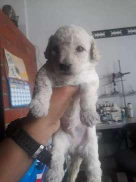 Se vende hermoso perrito $180 mil  french podlle