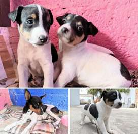 Cachorros terrier brasilero
