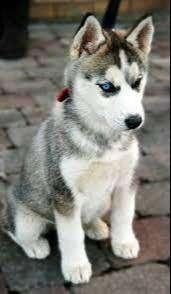 lobos isberinaos cachorros de 55 dias ya vacunado y desparasitado salud perfecta
