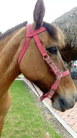 Semi-pony  criolla color Bayo