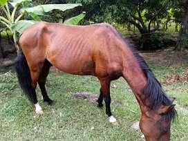 Vendo caballo capón con registro, 5 millones negociables, cambio por vaca de leche