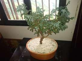 Vendo Bonsai de pino azul tailandés