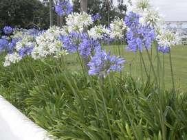 semillas de planta agapanto
