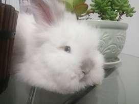 Venta de conejos al por mayor y al detal te ofrecemos conejos todo tipo de conejos Teddy Dwergs