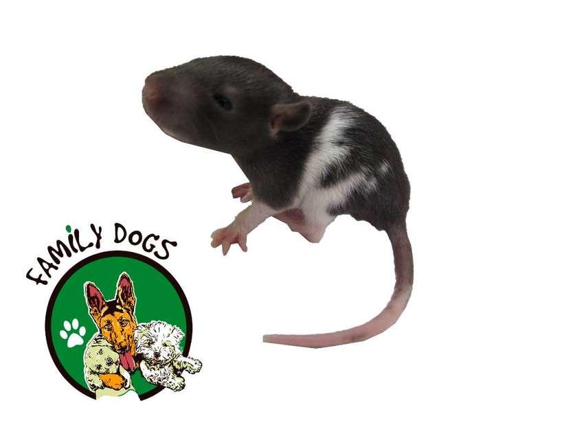 ratas de laboratorio, raza long evans 100% puras