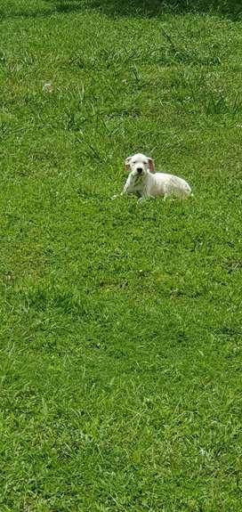 Cachorros Dogo Argentino Puros 100%