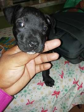 Cachorra  fusion américan bulling pitbull