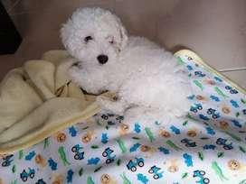 Se vende French poodle