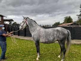 Hermoso caballo lusitano.