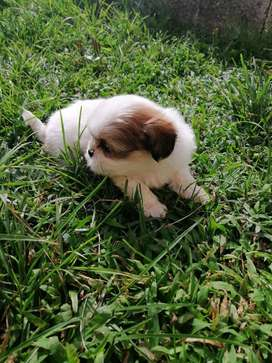 perritos machos shitzu certificados amorosos bebes 54 dias de nacidos