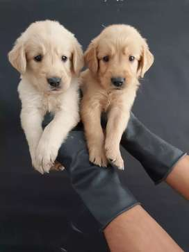 Color increible en golden retriever