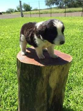 Hermosos cachorros border collie de excelente genetica súper lindos