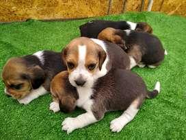 Hermosos beagles tricolor