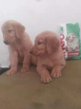 Excelentes golden cachorros H/M