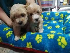 cachorros 2 meses