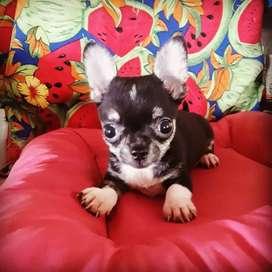 Chihuahua Macho Hermoso